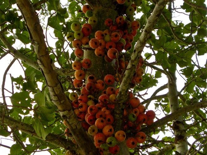 owoce figowca